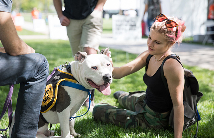 Yoshi, a sitting white pit bull terrier wearing an Adopt Me vest, being petted by a woman at the May the 4th NKUT Super Adoption event