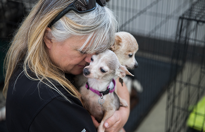 Woman holding two Chihuahua-type dogs