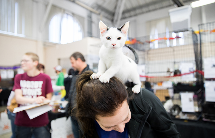 A black and white kitten standing on the back and head of a woman at the NKLA Super Adoption