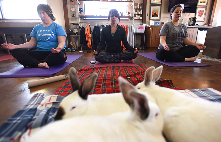 Women doing yoga at the Best Friends Visitor's Center with a group of three rabbits in front of them