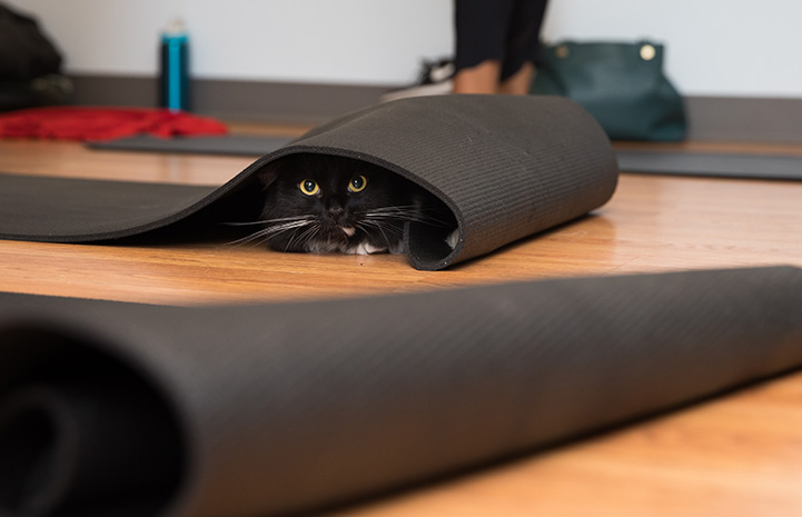 Black and white cat hiding in the folds of a yoga mat