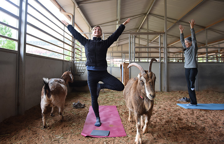Women doing yoga in an outside building with goats