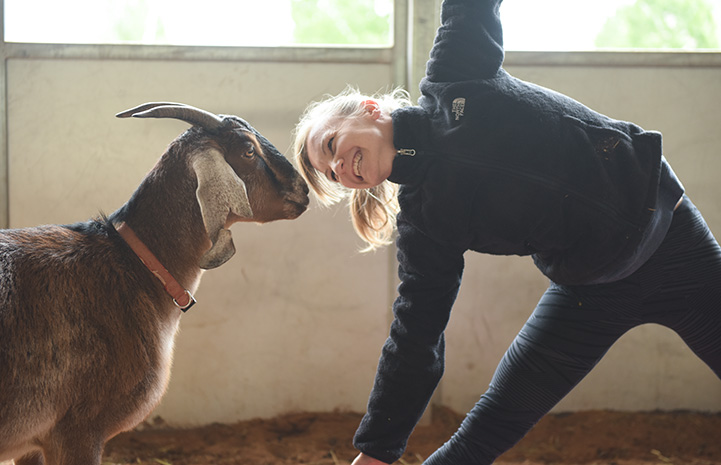 Woman bending over doing a yoga pose while smiling face-to-face with a goat