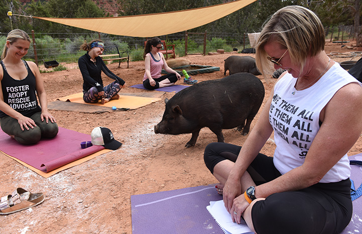 Group of women doing yoga outside with some potbellied pigs