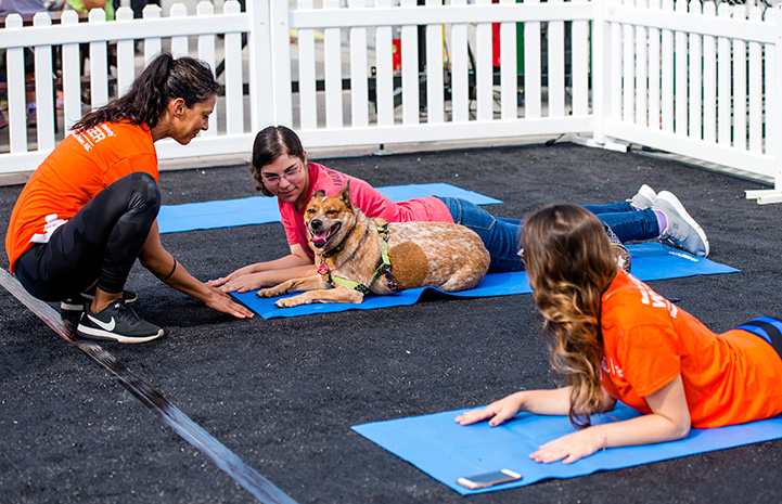 Australian cattle dog lying next to someone doing yoga with a couple other women