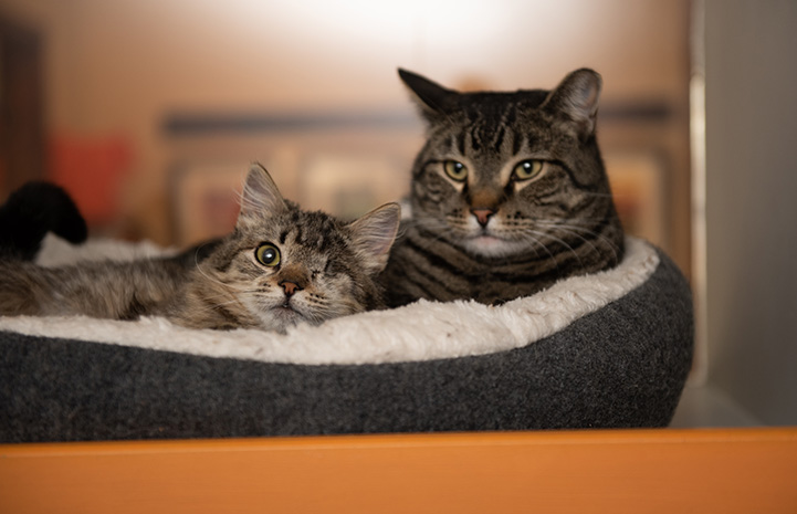 Peyton as a kitten lying next to another brown tabby cat together in a bed