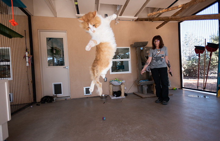 Ken the orange and white cat jumping up to catch a wand toy