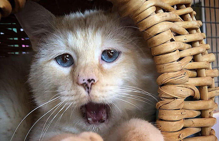 Flamepoint Siamese cat with blue eyes, freckles on his nose and mouth open in a wicker basket