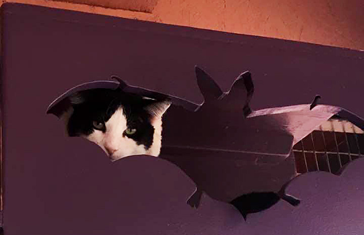 A black and white cat hiding in a wooden box on a shelf, peeking out from a bat cutout