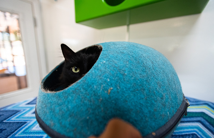 Ruby the cat peeking out from the opening of a blue dome-shaped cat bed