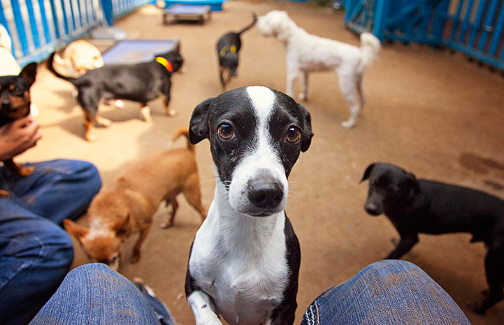 Small black and white dog in a group with other dogs, at the lap of a person
