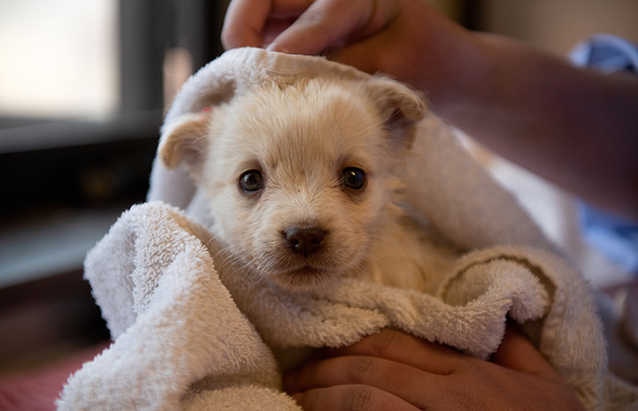 Puppy being dried off with a towel