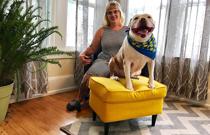 Dog from My Pit Bull is Family sitting on a yellow ottoman