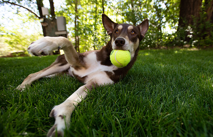 Caboodle the dog with a ball in his mouth while lying in the grass