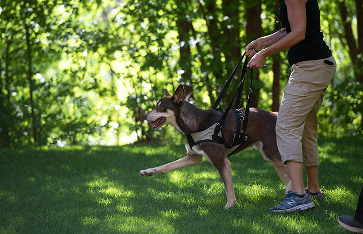 Woman holding Caboodle the dog up with a sling so he can walk on the grass