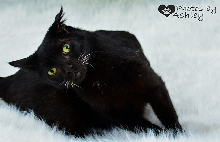 Duke the black cat with white whiskers on a white fuzzy background