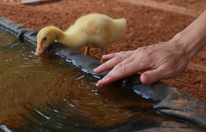Duckling drinking from a pool with a person's hand tapping the water next to him