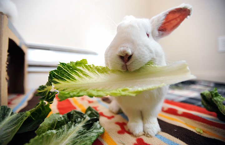 White rabbit eating a leaf of romaine lettuce