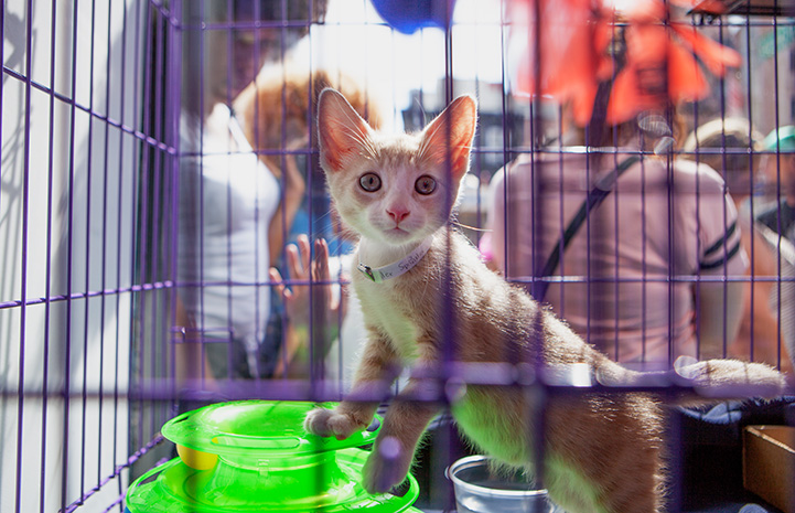 Cream tabby kitten in a purple cage at the New York cat adoption event