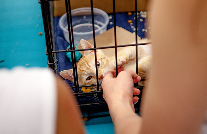 Person petting an orange tabby kitten through the bars of a kennel at the New York cat adoption event