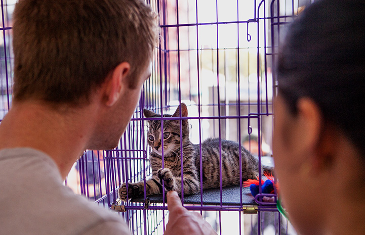 Man and woman playing with a tabby kitten through the bars of a kennel at the New York cat adoption event