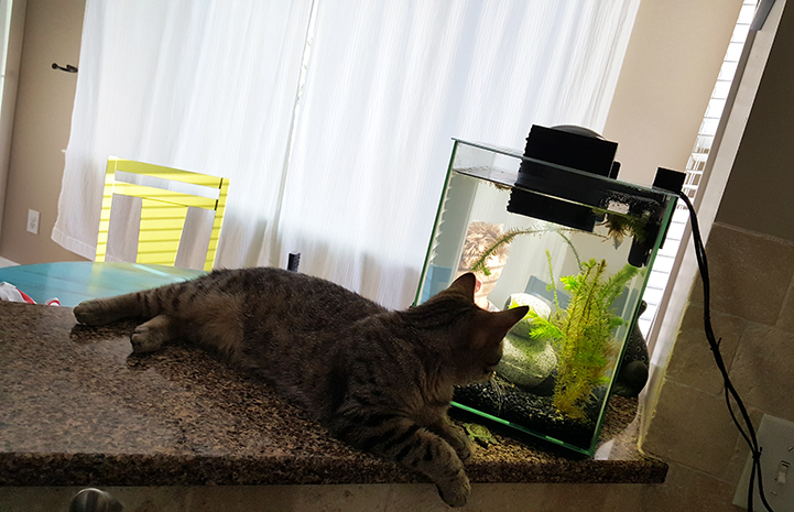Kona the brown tabby cat looking at the fish swimming in a small aquarium