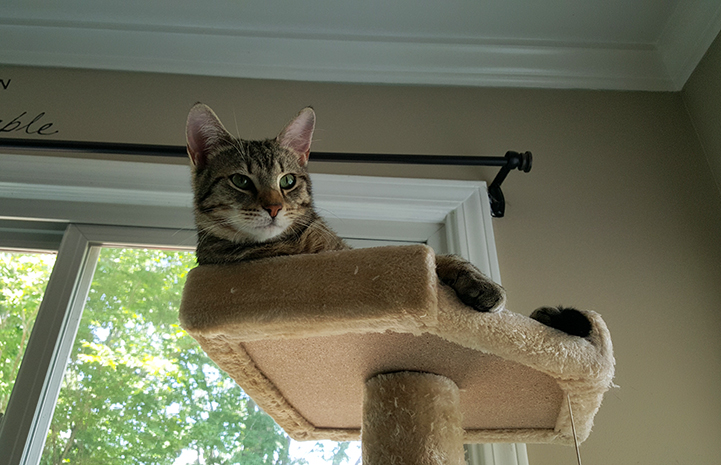 Kona the brown tabby lying on the top of a cat tree