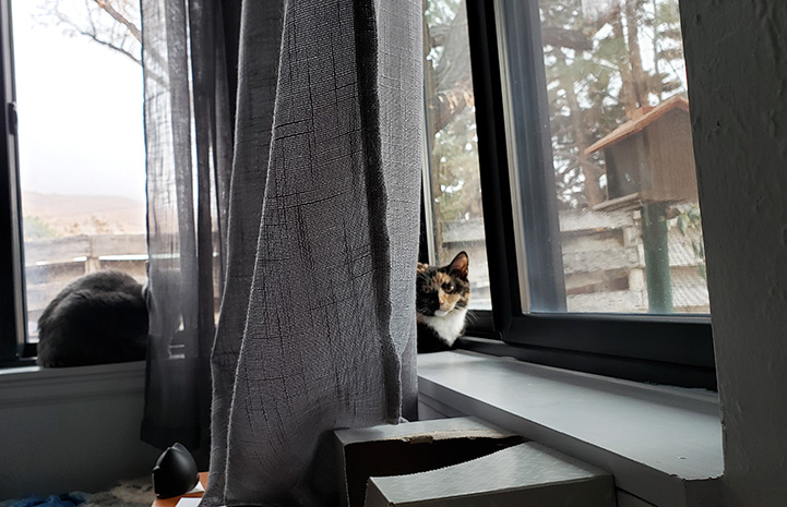 Wobbles the calico cat in a window
