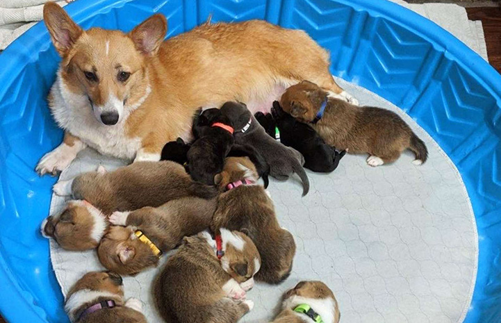 Mama corgi lying in a kiddie pool with a litter of pit bull terrier puppies she cared for