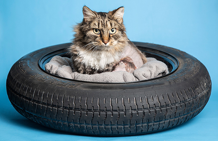 Cindy the brown tabby cat lying in a bed in the middle of a car tire