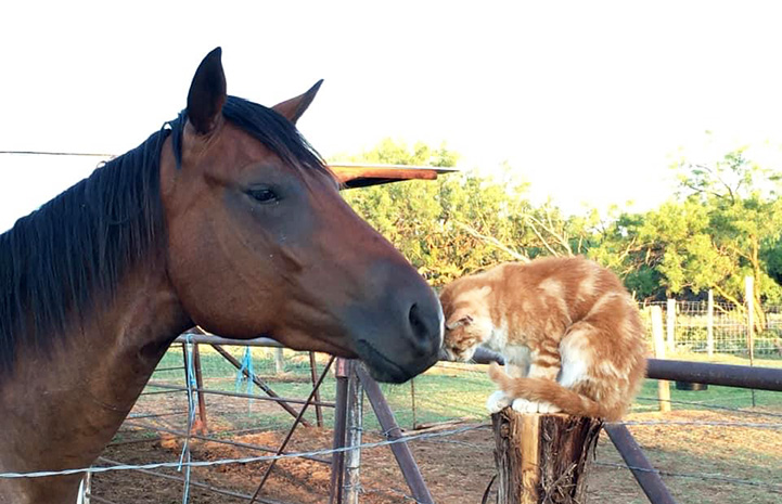 Crush the working cat nuzzling a bay horse