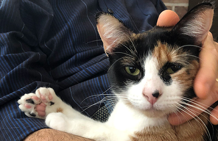 Person holding Lily the calico polydactyl cat
