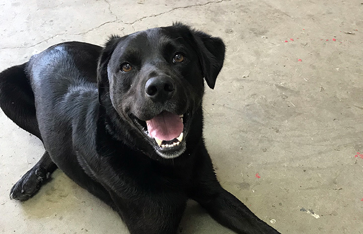 Ray the black dog lying on the ground with mouth open in a smile