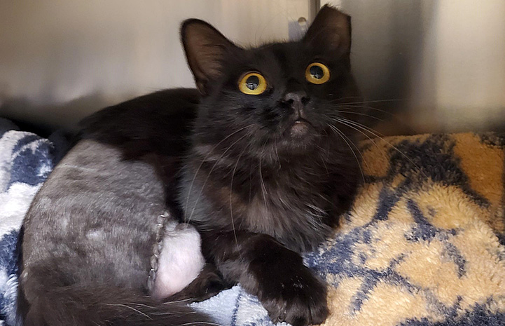 Corona, a black cat with a leg amputation in a kennel