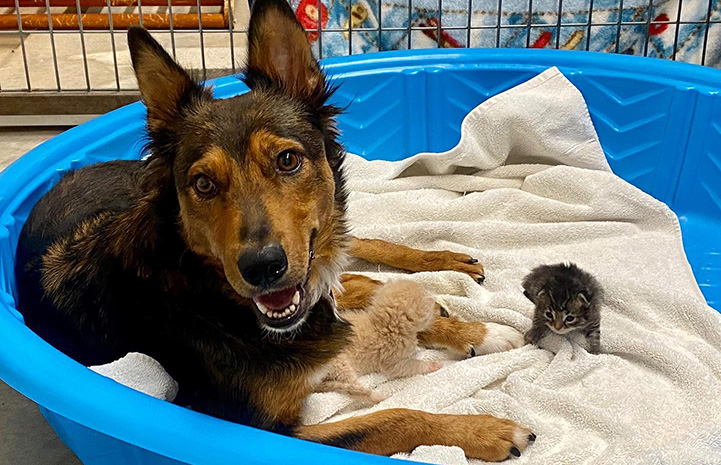 Georgia the dog lying in a kiddie pool with kittens