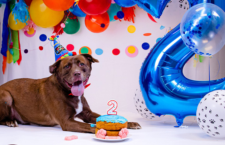 Brownie the dog wearing a party hat with a cake topped and balloons