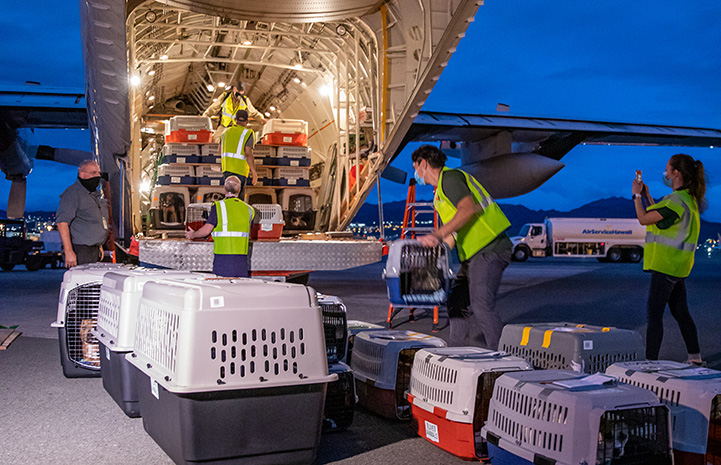 People loading crates filled with animals into the back of an airplane