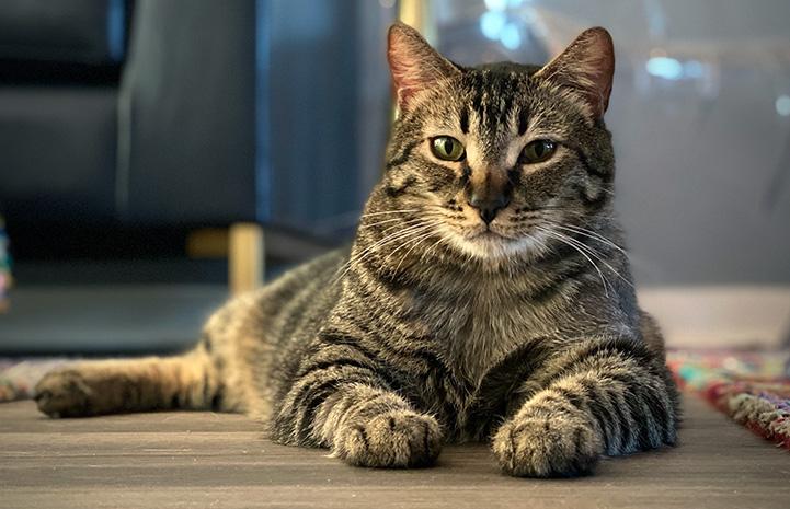 Jimmy the tabby cat lying n the floor