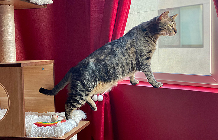 Brown tabby cat Jimmy standing with his back legs on a cat tree and front legs on a windowsill, looking out the window