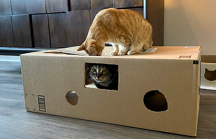 Jimmy the cat playing in a cardboard box with an orange tabby