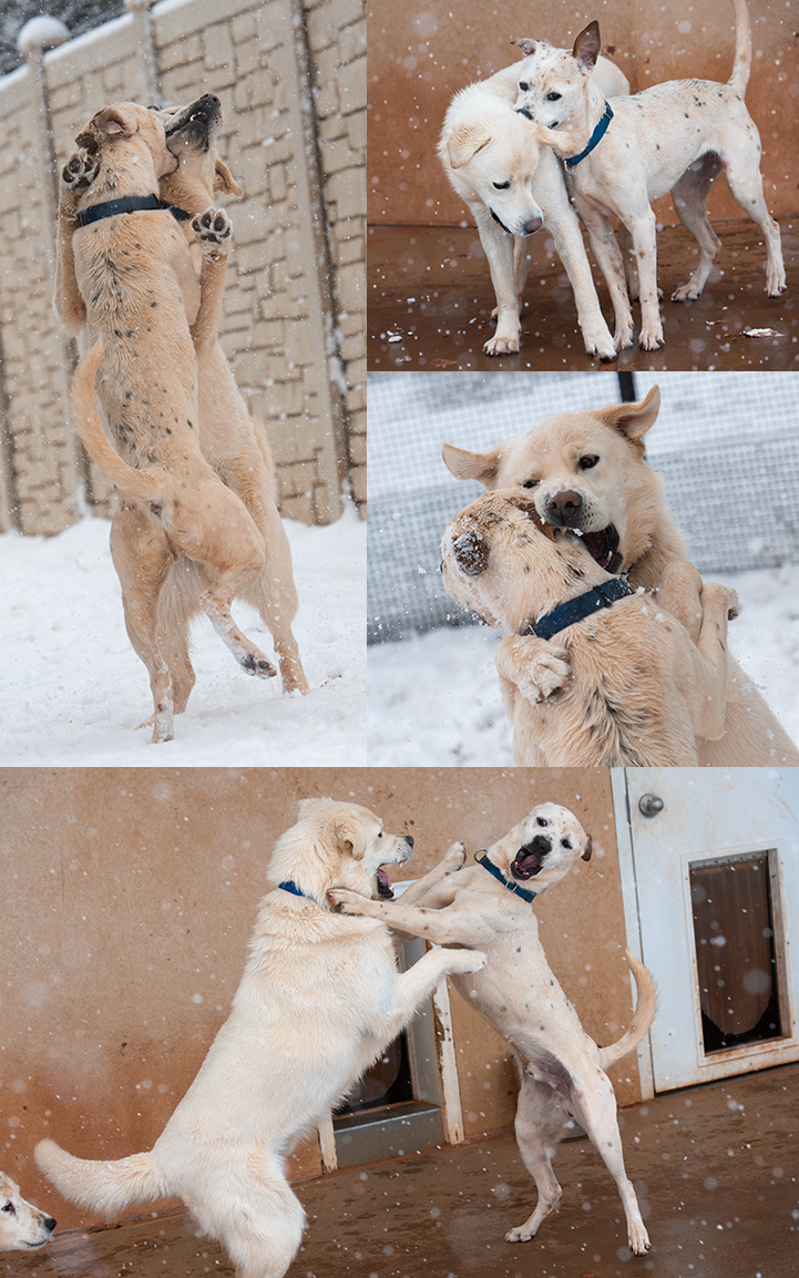 Collage of photos of two dogs playing in the snow
