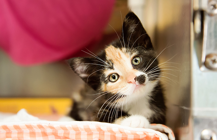 Fluffy calico kitten looking at camera