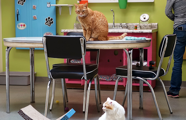 Two cats in a kitchen-type environment at the Lynchburg Humane Society