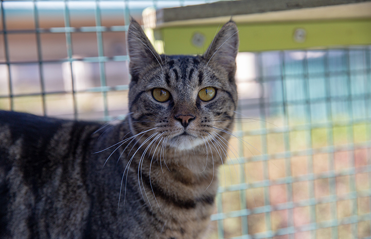 Brown tabby cat in an catio like enclosure