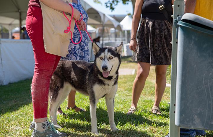Husky on a leash at the NKLA Super Adoption event