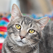 Adopt Norman the cat available for adoption from Salt Lake City