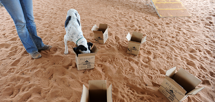 Rainey the hound mix doing nose work with multiple cardboard boxes