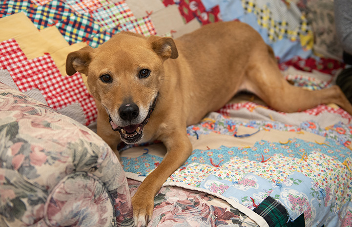 Shocky the brown dog lying on a quilt on a couch