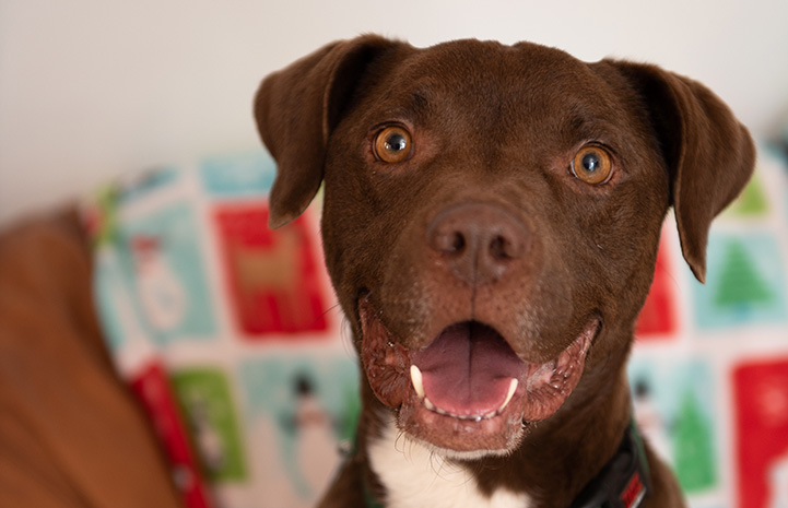 The face of Timmy, a brown and white pit-bull-type dog
