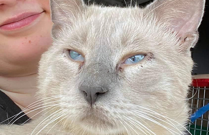The face of  lynx point Siamese mix cat with a person behind him